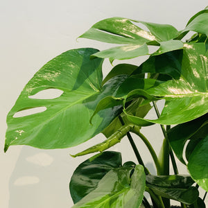 "Philodendron Monstera in 6"" Hat Basket"