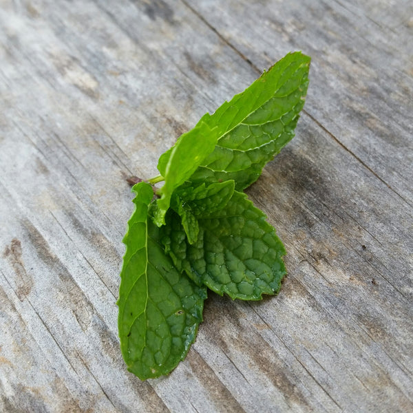 Mint - Spearmint, Baby cuttings [50ct]