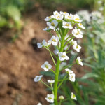 Alyssum - White Flowers
