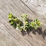 Thyme - Golden Edged, Baby Cuttings [100ct]