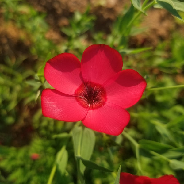Flax - Scarlet Flower [50 ct.]