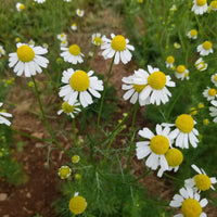 German Chamomile - Flowers [100 ct.]