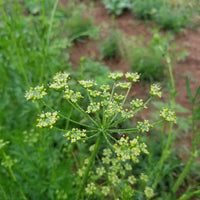 Parsley - Flowers [25ct]