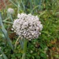 Leek - Flowering Bud [1pc]