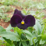 Pansy - Flowers, Black [100ct.]