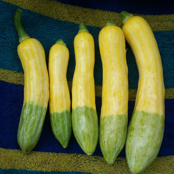 Zephyr Squash - Full Grown [10#/cs]