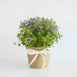 Exacum Living Flowers Gift - Florii Flower Studio