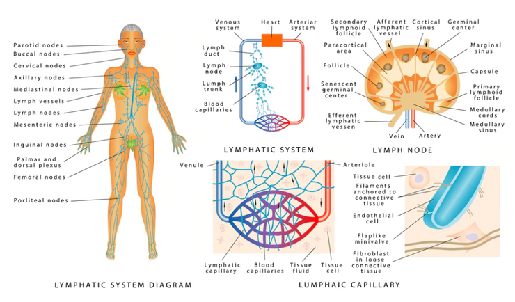Normalize Lymphatic Circulation and more! - INSIGHT HEALTH APPS