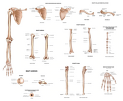 Bone Anatomy & Bone Solutions! - INSIGHT HEALTH APPS