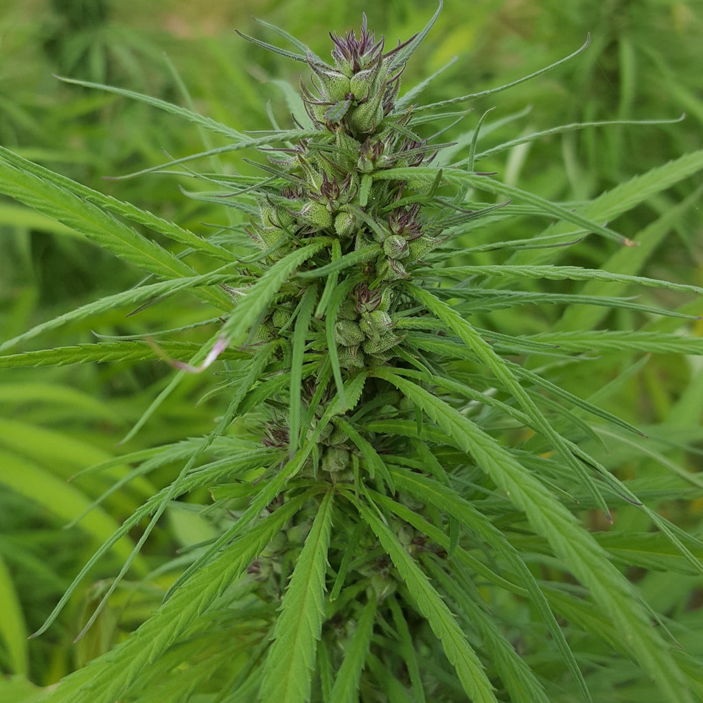 Hemp federally legalized in the U.S. and removed from Schedule I drug list