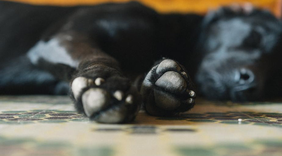 6 Ways to Protect Your Dog's Paws Year Round