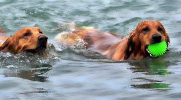 Just Add Water- Top 8 Swimming Dog Breeds