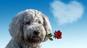 Dog with a rose
