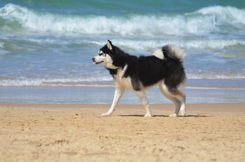 Husky Malamute on a beach