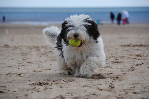 dog playing fetch on a beach