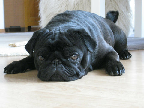 pug on the floor