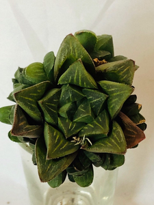 Haworthia Mirabilis Retusa Succulent - Indoor Succulents -Indoor Succulent Plants - Haworthia