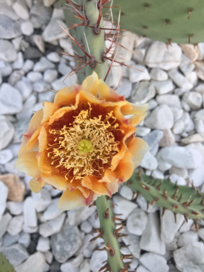 Opuntia phaeacantha Dark yellow / Gold / light orange flowers - perennial cactus - cold hardy cactus