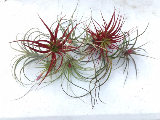 Wholesale Air plants - Bulk Air plants - Air Plants For Sale - Air Plants Online - Medium Sized