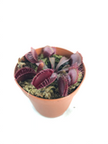 "Venus Fly Trap - Carnivorous Plants - Little Shop of Horrors Plant - ""Akai Ryu"" - Red Dragon - 2"" Pot"