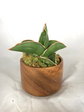 "Sansevieria ehrenbergii ""Samurai Dwarf"" in wood pot - Mother In Law's Tongue - Rare - Air purifier"