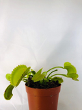 Carnivorous Plants - Venus Fly Trap - Little Shop of Horrors Plant - Short Meaty Tooth form