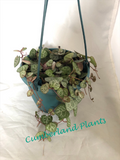 String of Hearts - Ceropegia linearis woodii - Rosary Vine - Succulent Plant