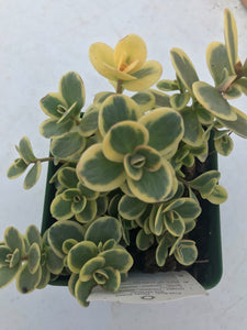 Sedum Sun Sparkler Lime Twister, Succulent Plants For Sale, Buy Succulents Online, Succulents For Sale
