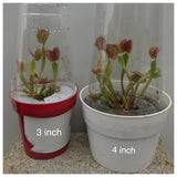 Venus Fly Trap - Red Trap Carnivorous Plants