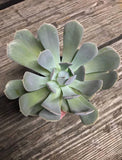 Pink Tips Echeveria
