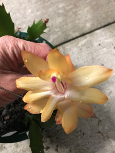 "Light Yellow with Pink Center Christmas Cactus Zygocactus x ""Christmas Flame"""