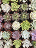 "2"" Succulent Favors - Small Succulents - Rosette Succulents - Wedding Favors - Baby Shower Favors"