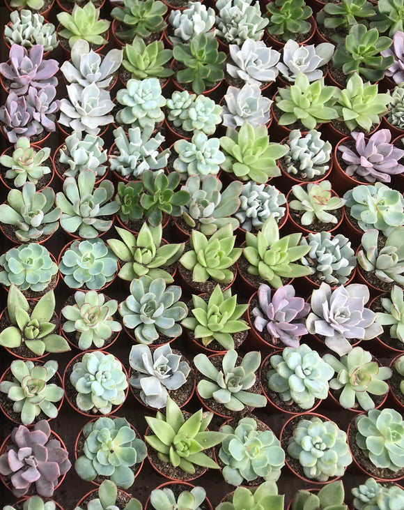 "2"" Assorted Echeveria"