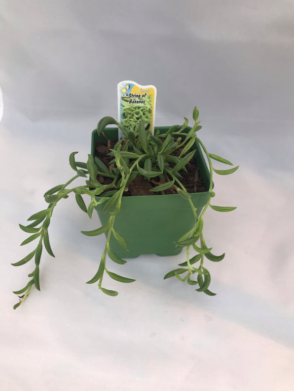 String of Bananas- Senecio radicans - Indoor Succulents - Succulent Plant -Best Indoor Succulents - Indoor House Plants