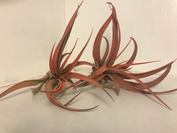Capitata Peach Air Plant