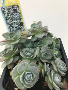 Chinese Dunce Cap - Orostachys iwarenge Succulent ground cover