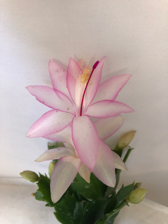 Christmas Cactus Soft Pink - Thanksgiving Cactus - Holiday Cactus