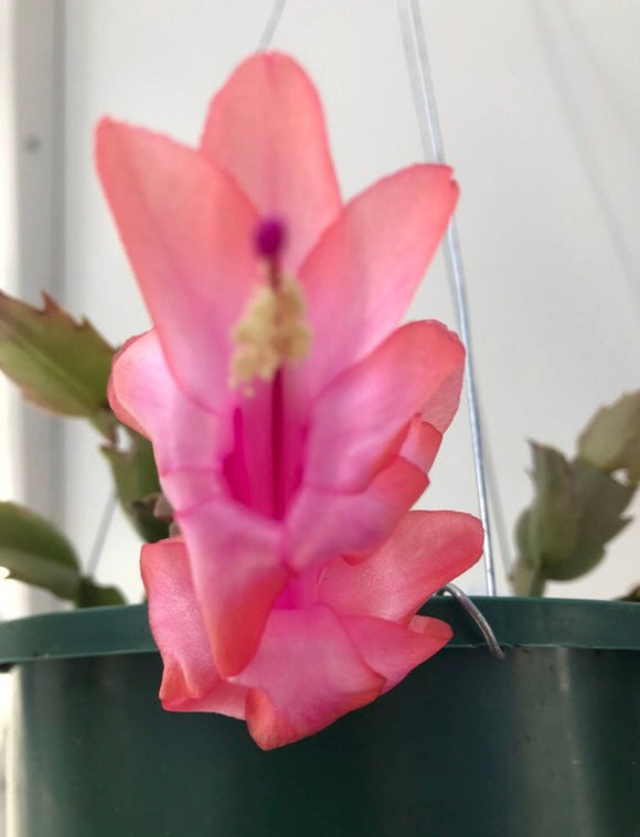 Light Pink/Orange Colored Christmas Cactus Zygocactus x