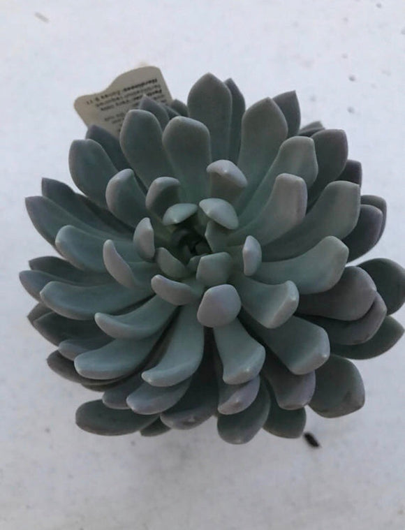 Echeveria Grey Red