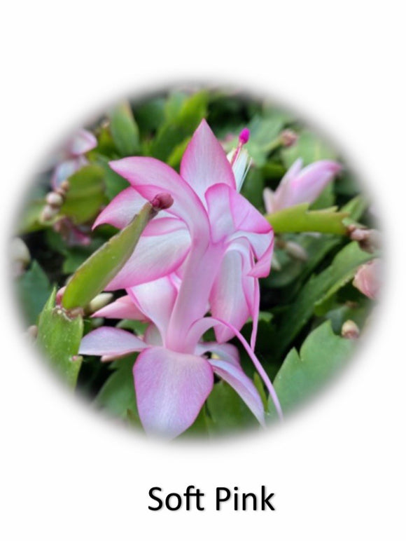 Soft Pink Christmas Cactus - Thanksgiving Cactus - Holiday Cactus
