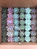 "2"" Succulent Favors - Small Succulents - Rosette Succulents - Wedding Favors"
