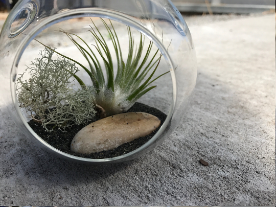 Iontha Air plant Terrarium DIY Kit