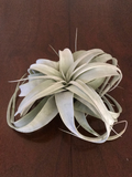 Xerographica Air plant - Medium
