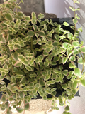 Variegated Sedum Little Missy