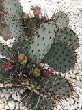 Opuntia Azurea - Yellow Flowers - Purple Cactus Pad - Cold Hardy Prickly Pear - Cacti Red Center