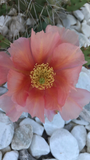 Opuntia polyacantha Pinkish Orange flowers, perennial cactus, cold hardy cactus, prickly pear
