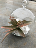 Air Plant Terrarium with Pink Abdita Air Plant