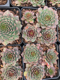 Sempervivum Hen and Chick Ruby Heart
