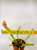 Scarlet Belle Sarracenia Pitcher Plants - Carnivorous Plants - Bug Catching plants - Bog Plants