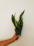 "Sansevieria Laurentii Superbra - 4"" Snake Plant - Mother In Law's Tongue Plant - Air purifying plant"